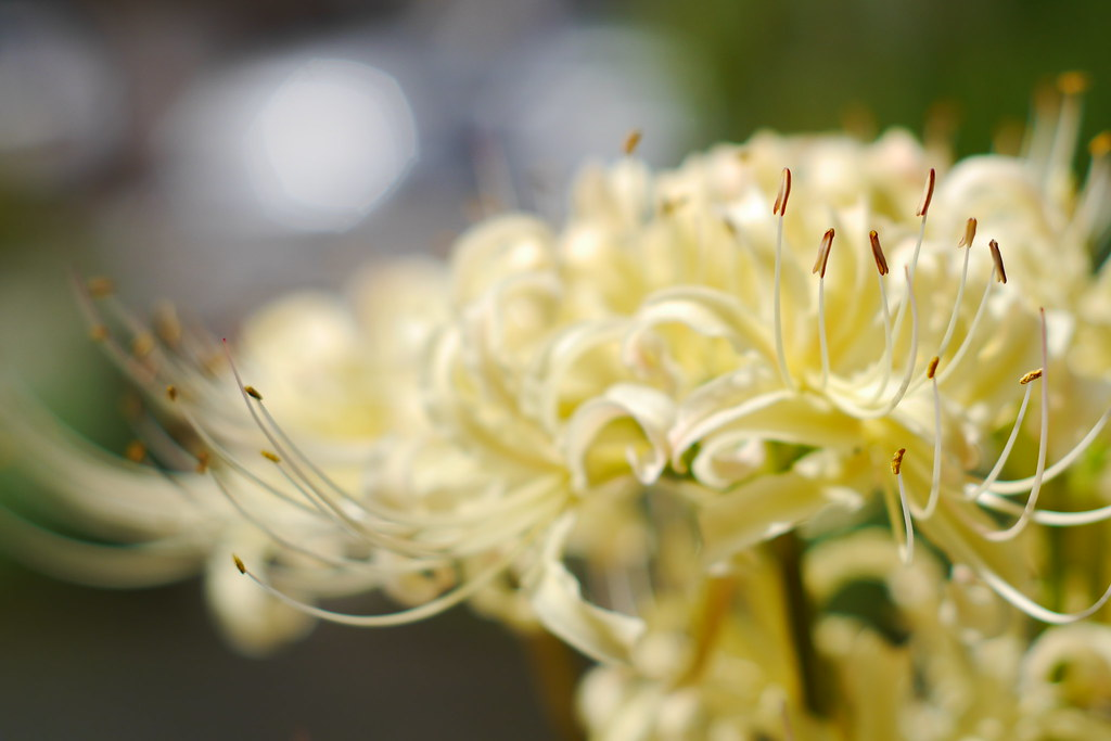 White Lycoris