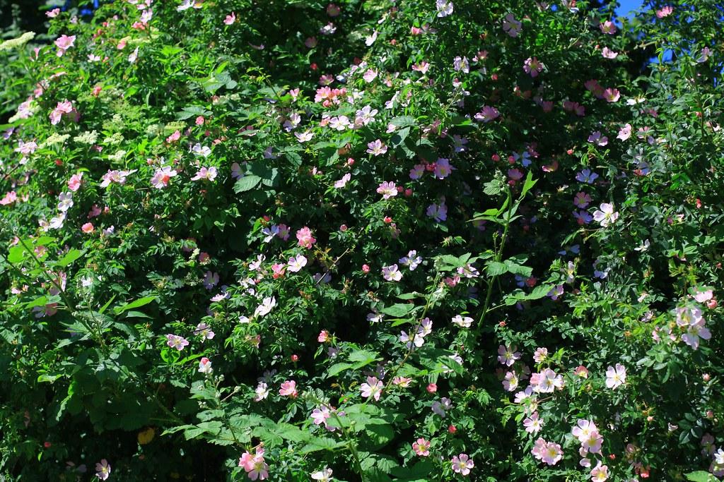 Những bông hồng dại bên đường