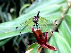 Rainforest Elf (Tetrathemis irregularis cladophila) ♀