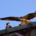 NIK_5073 - Ospreys by Arlo Guthrie