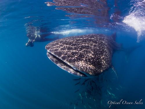 Whale Shark - OM-D E-M1