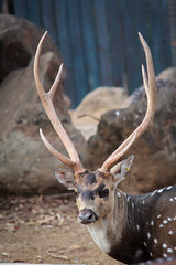 animal, antler, deer, horn, fauna, close-up, wildlife,