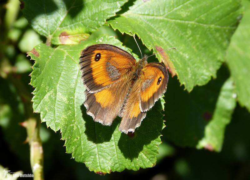 P1080115 - Gatekeeper, Newport Wetlands