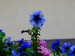 Kék petúnia 1