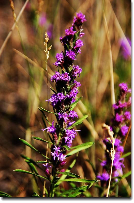 Gayfeather Flowers
