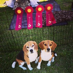 The boys had a FANTASTIC day at The Bay Team's USDAA agility trial! 2 Qs for each but 4 really awesome runs out of both boys! They both got Jumpers Qs, with Dylan's being the final Q he needed for his AD title!! They also both Q'd in Gamblers with Dylan's