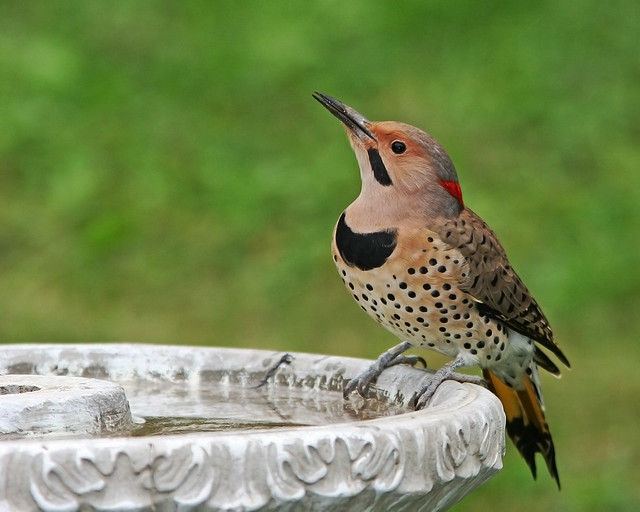 Woodpecker Northern Flicker_8284
