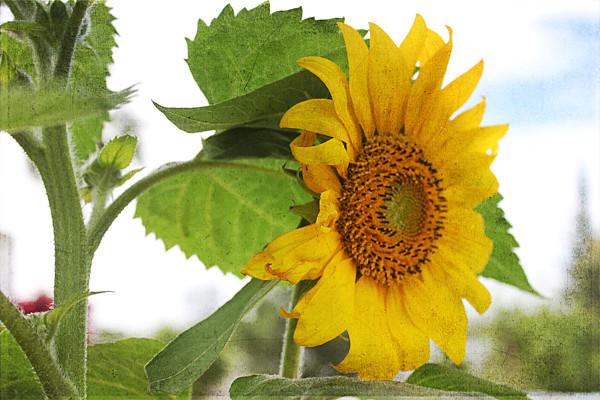 kk-TT-sunflowers-w