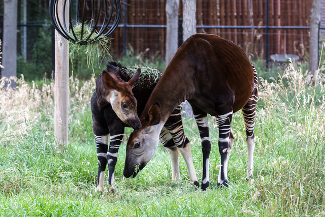 Okapi at Denver Zoo
