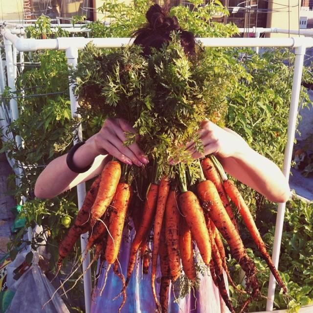 Big carrot harvest today!  #carrots #carrot #orange #fresh #vegetablegarden #rooftop #NYC #Brooklyn #vegetables #healthyeating #garden #gardening #urbanfarming #urbangarden #containergarden #harvest  #gardenchat  #farmgirl #getgrowing #greenthumb #homegro