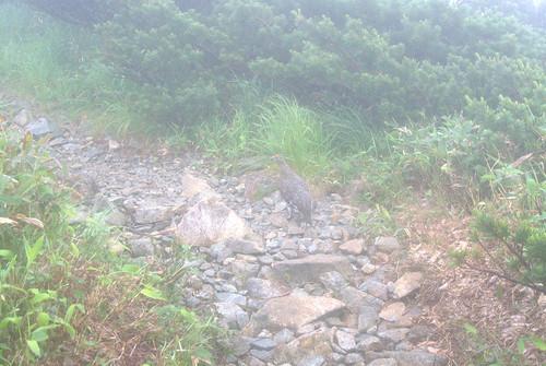 登山道を案内してくれる雷鳥