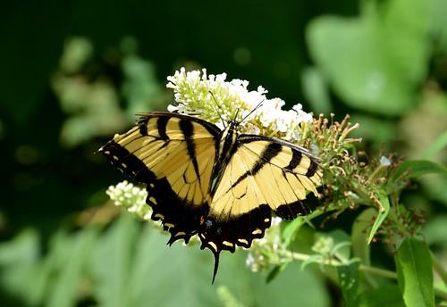nature beautiful butterfly missouri swallowtail easterntigerswallowtail tigerswallowtail butterflyhouse 2014 nathanaelgreenepark closememorialpark