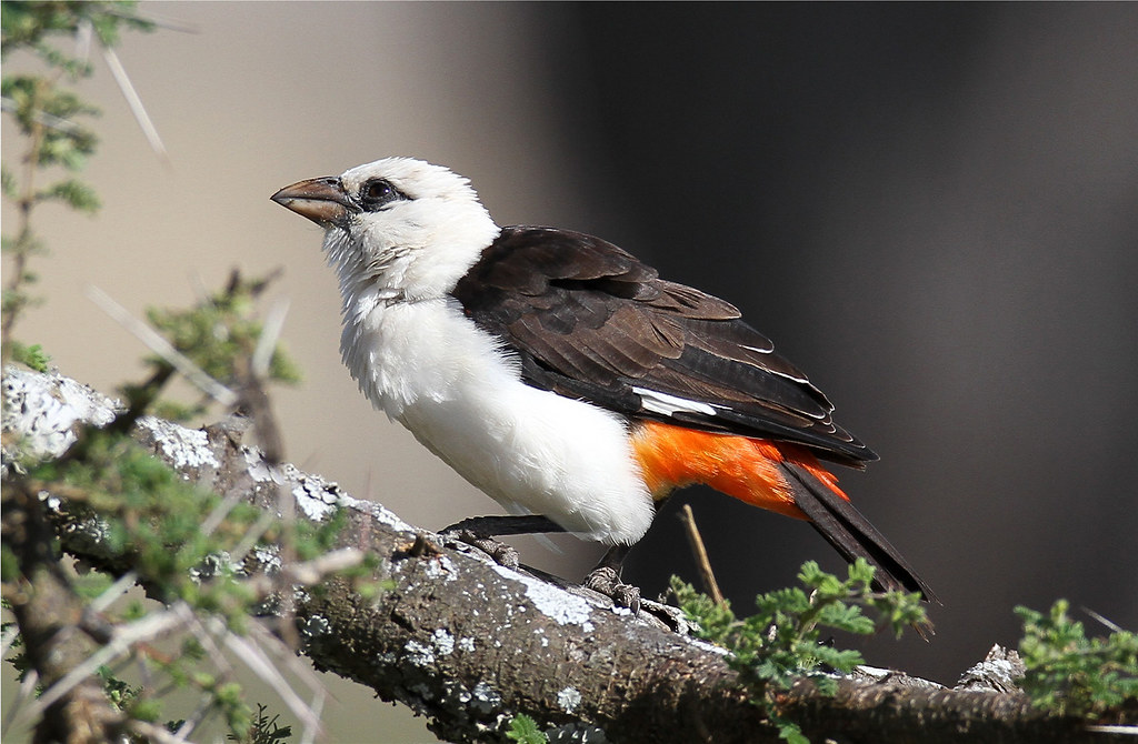 Dinemellia dinemelli (White-headed Buffalo-weaver)