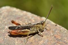 Chorthippus vagans male