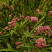 swamp milkweed - Photo (c) rachelgreenbelt, some rights reserved (CC BY-NC-SA)