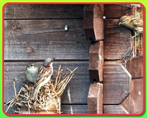 Sparrow Family 02