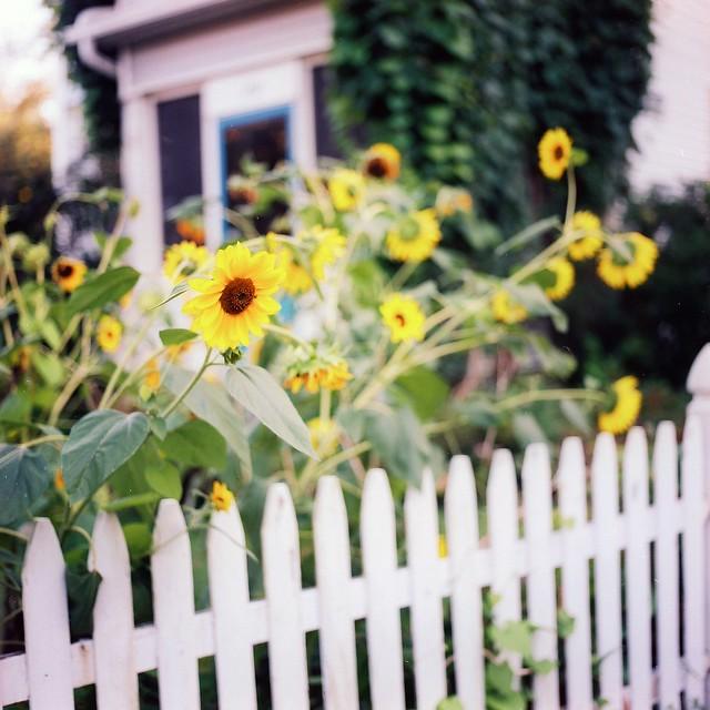 Northampton sunflowers.