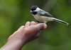 hand feeding black capped chickadee