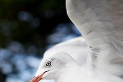 Dynamic Seagull