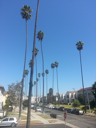 Tall palm trees in Los Angeles