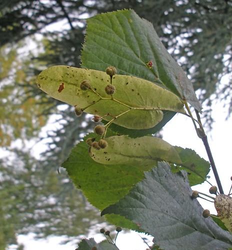 Lime bracts and seeds