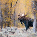 Moose in fall color by Amy Hudechek Photography