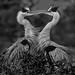 Love Birds - 3rd Place Black & White - Frank Zurey