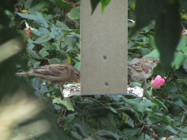 House Sparrows2 eating safflower 9:10:14