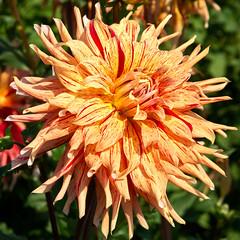 dahlia, flower, plant, bee balm, macro photography, wildflower, flora, close-up, chrysanths, petal,