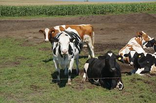Cows, duh.
