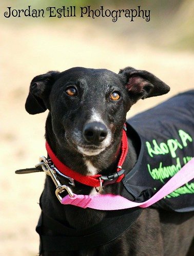 Magic- soppy black female hound looking for a home! 15216982600_6f49ab459d