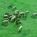 Goats in farm