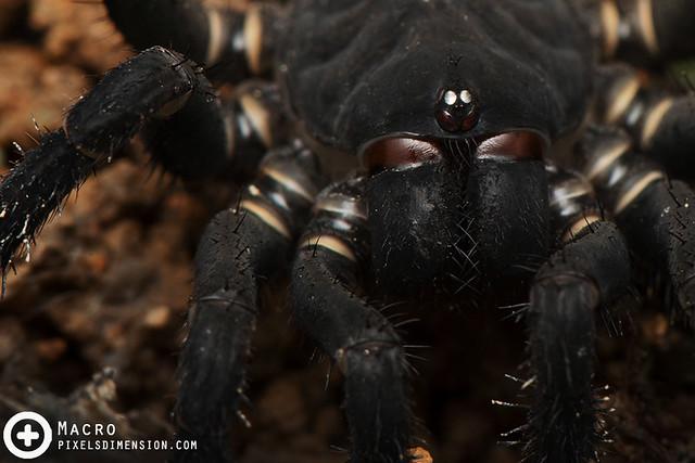 Trapdoor Spider- Liphistius malayanus ♀