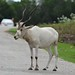 Small photo of Addax