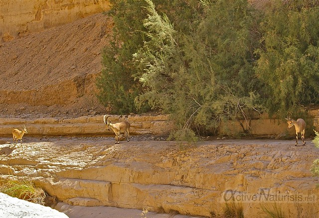 nubian ibex 0000 Nahal Arugot, Dead Sea, Israel