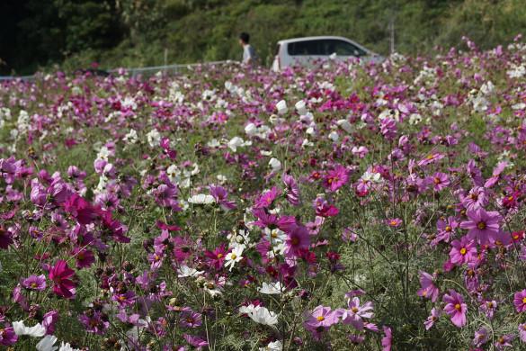 Nakagusuku Cosmo Field: Flowers - Okinawa, Japan