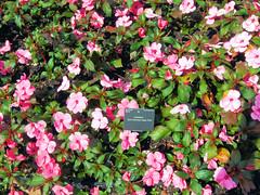 annual plant, shrub, camellia sasanqua, flower, plant, flora, busy lizzie,