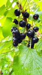 summer garden: black currants