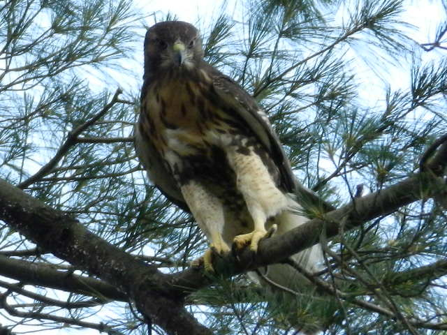 Juvenile red-tailed hawk in a white pine.