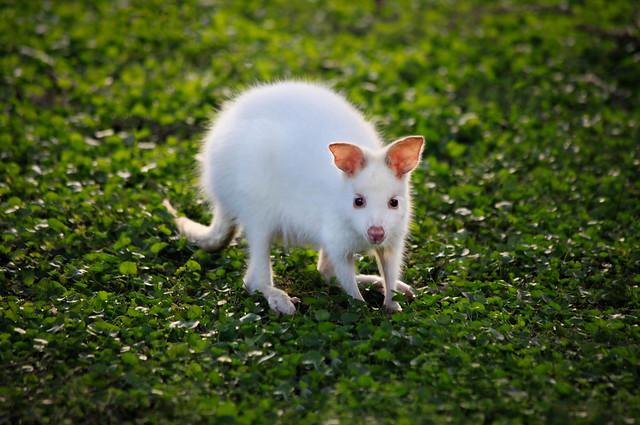 Little Albino Joey