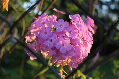 flower sunshine minnesota sunrise fence outside petals midwest pretty petal chainlink twincities goodmorning