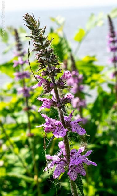 Fleurs mauves a identifier