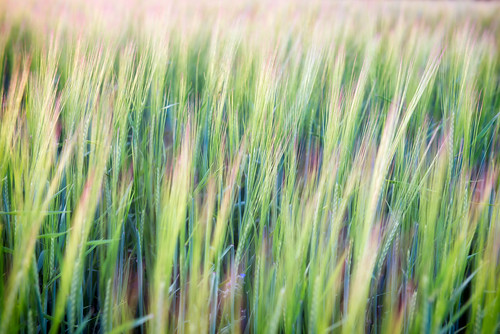 summer field barley evening soft dof sweden bokeh cereal crop tornahällestad