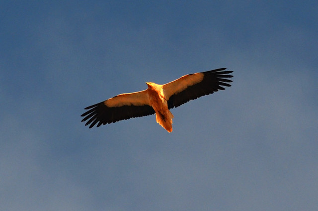 Egyptian Vulture, Fuerteventura