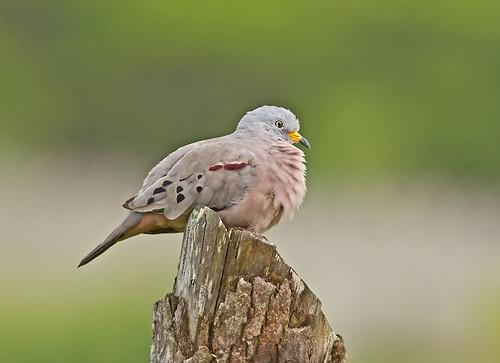 bird ecuador dove canoa croakinggrounddove columbinacruziana manabiprovince