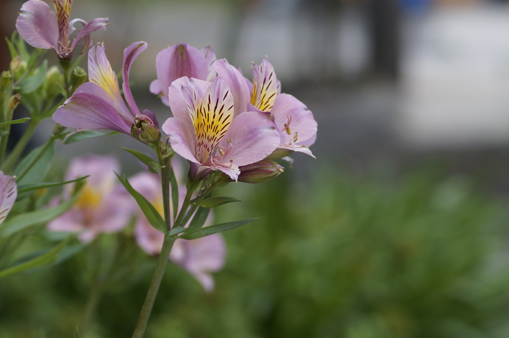 Planar 1.4/50 + Mutar1 花の色編