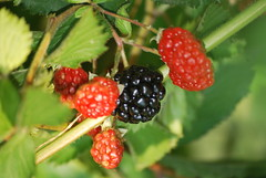 evergreen(0.0), shrub(0.0), strawberries(0.0), flower(0.0), mock strawberry(0.0), strawberry(0.0), crataegus pinnatifida(0.0), raspberry(0.0), cloudberry(0.0), blackberry(1.0), tayberry(1.0), berry(1.0), red mulberry(1.0), plant(1.0), west indian raspberry(1.0), wine raspberry(1.0), produce(1.0), loganberry(1.0), fruit(1.0), food(1.0), salmonberry(1.0), boysenberry(1.0), dewberry(1.0), mulberry(1.0),