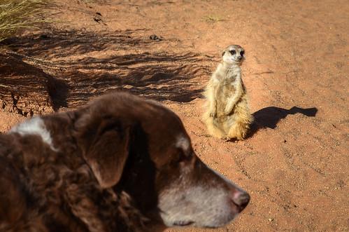 Meerkat & dog