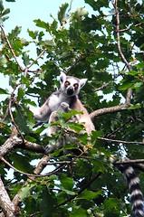animal, branch, tree, mammal, fauna, lemur, jungle, wildlife,