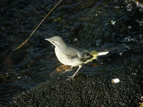 Juvenile grey wagtail